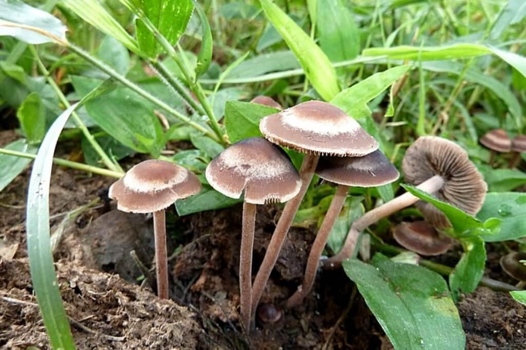 Psychedelic Mushrooms - Panaeolus Cinctulus